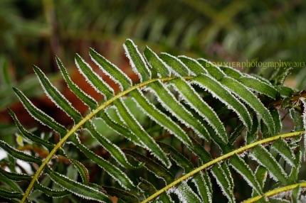 frosty glimmer