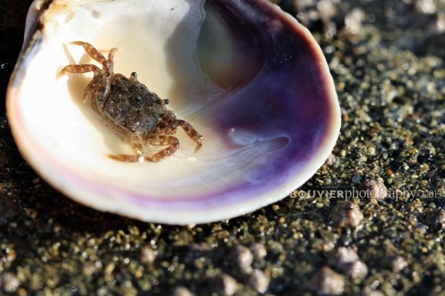 teeny crab